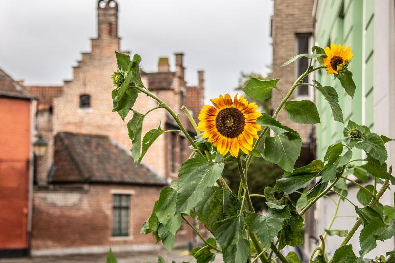 Zonnebloemen in straat