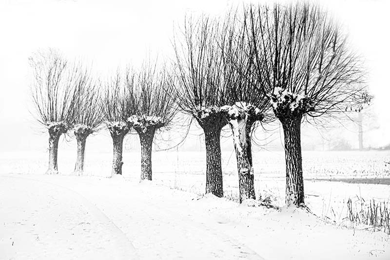 Knotwilgen in de sneeuw